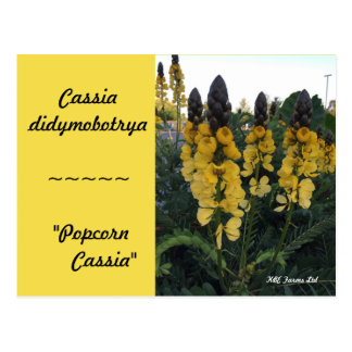 "Botanical Cassia didymobotrya ""Popcorn Cassia"" Postcard"
