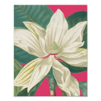 Botanical Magnolia in Pink Poster