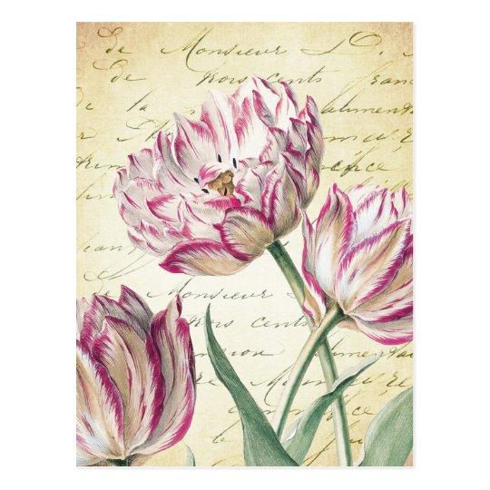 Botanical Pink and White Tulip Illustration Postcard