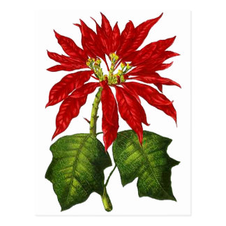 Botanical Poinsettia Postcard