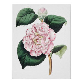 Botanical PREMIUM QUALITY print of camellia