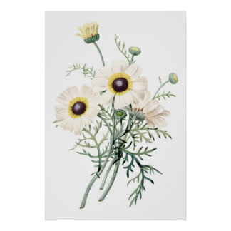 Botanical PREMIUM QUALITY print of chrysanthemum