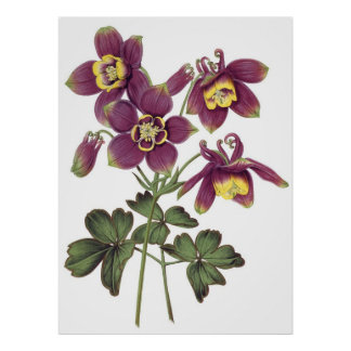 Botanical PREMIUM QUALITY print of columbines