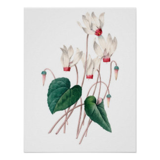 Botanical PREMIUM QUALITY print of cyclamen
