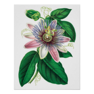 Botanical PREMIUM QUALITY print of passiflora