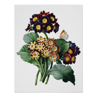 Botanical PREMIUM QUALITY print of primula