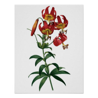 Botanical PREMIUM QUALITY print of red lily