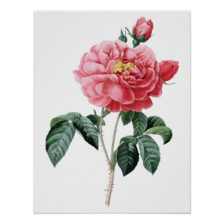 Botanical PREMIUM QUALITY print of rose