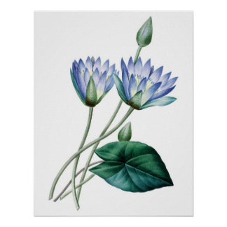 Botanical PREMIUM QUALITY print of water lilies
