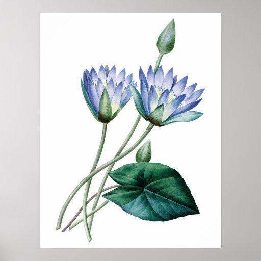 Botanical PREMIUM QUALITY print of water lilies