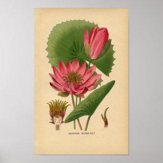 Botanical Print - Egyptian Water Lily