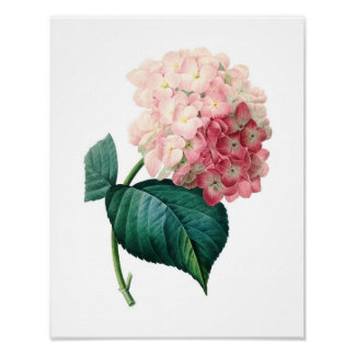 Botanical print of HYDRANGEA original by Redoute