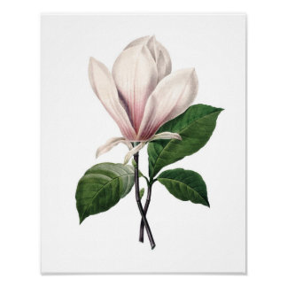 Botanical print of PINK MAGNOLIA by Redoute