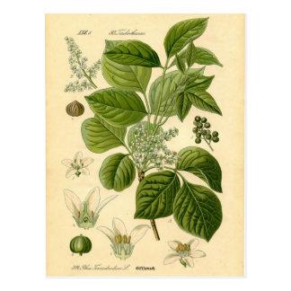 Botanical Print - Poison Ivy (Toxicodendron) Postcard