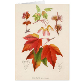 Botanical Print - Red Maple (acer rubrum) Card