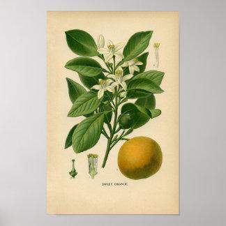 Botanical Print - Sweet Orange