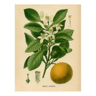 Botanical Print - Sweet Orange Postcard