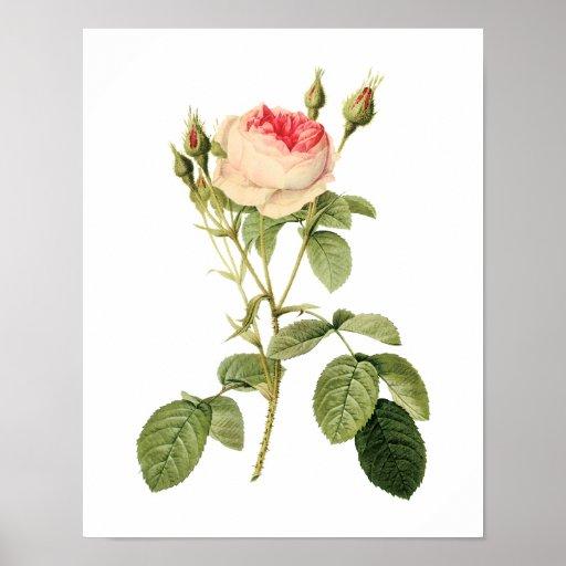 Botanical Rosa Musoosa Multiplex Redoute Poster