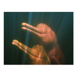 Boto, or Amazon River Dolphin (Inia geoffrensis) Postcard