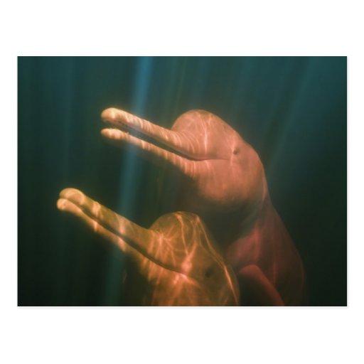 'Boto, Or Amazon River Dolphin (inia Geoffrensis) Postcard