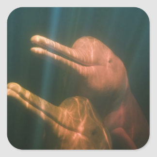 Boto, or Amazon River Dolphin (Inia geoffrensis) Square Sticker