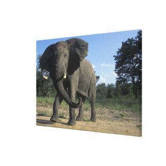 Botswana, Chobe National Park, Aggressive Bull Canvas Print