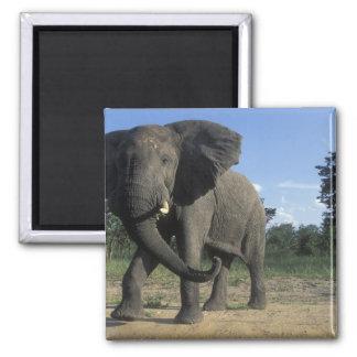 Botswana, Chobe National Park, Aggressive Bull Magnet