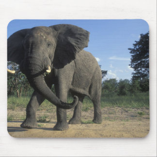 Botswana, Chobe National Park, Aggressive Bull Mouse Mat
