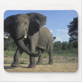 Botswana, Chobe National Park, Aggressive Bull Mouse Pad