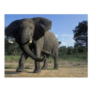 Botswana, Chobe National Park, Aggressive Bull Postcard