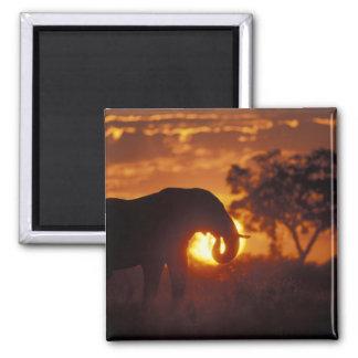Botswana, Chobe National Park, Bull Elephant Magnet