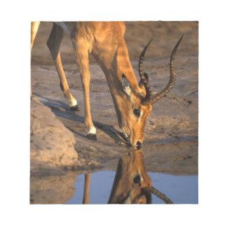 Botswana, Chobe National Park, Bull Impala Notepad