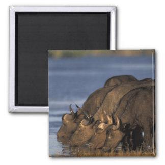 Botswana, Chobe National Park, Cape Buffalo Magnet