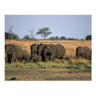 Botswana, Chobe National Park, Elephant herd Postcard