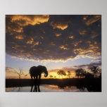Botswana, Chobe National Park, Elephant Poster