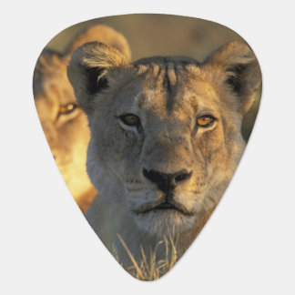 Botswana, Chobe National Park, Lionesses Guitar Pick