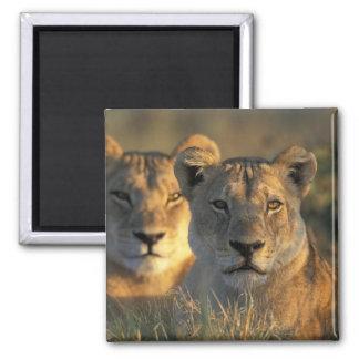 Botswana, Chobe National Park, Lionesses Magnet