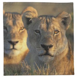 Botswana, Chobe National Park, Lionesses Napkin