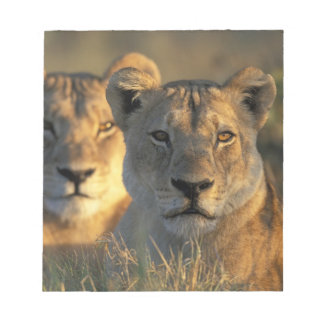 Botswana, Chobe National Park, Lionesses Notepad