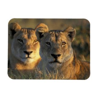 Botswana, Chobe National Park, Lionesses Rectangular Photo Magnet
