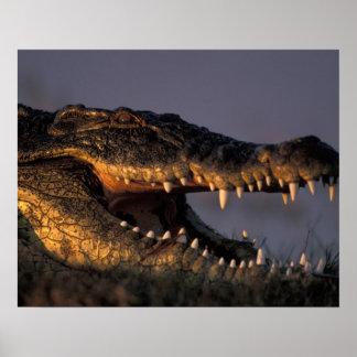 Botswana, Chobe National Park, Nile Crocodile Poster