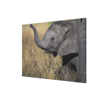 Botswana, Chobe National Park, Young Elephant Gallery Wrap Canvas
