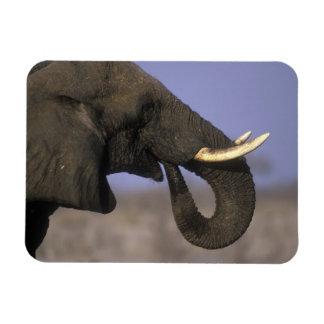 Botswana, Moremi Game Reserve, Bull Elephant Rectangular Magnet