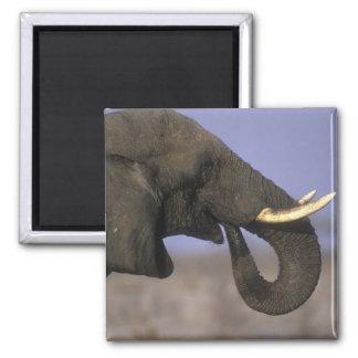 Botswana, Moremi Game Reserve, Bull Elephant Square Magnet