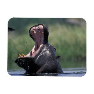 Botswana, Moremi Game Reserve, Hippopotamus Rectangular Photo Magnet