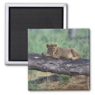 Botswana, Moremi Game Reserve, Lion cub Square Magnet