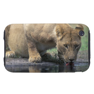 Botswana, Moremi Game Reserve, Lioness (Panthera 2 iPhone 3 Tough Cover