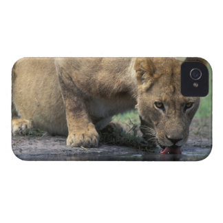Botswana, Moremi Game Reserve, Lioness (Panthera 2 iPhone 4 Cases