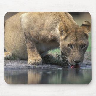 Botswana, Moremi Game Reserve, Lioness (Panthera 2 Mouse Mat