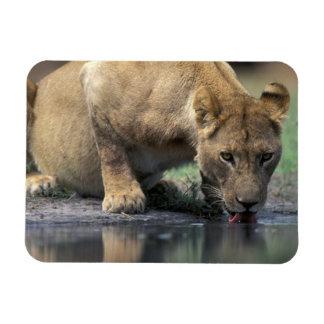 Botswana, Moremi Game Reserve, Lioness (Panthera 2 Rectangular Photo Magnet
